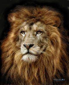 Lion portrait .@@