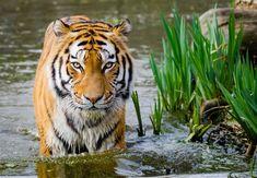 Tiger Wildlife Photo to Canvas Art - tiger wildlife #CanvasPrint #TigerArt #TigerCanvasPrint #TigeronCanvas #WallDecor