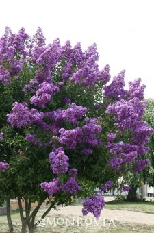 Purple Tower Crape Myrtle - Sporting vibrant purple flowers in the summer months, this lovely small tree will draw the eye of any passer by. Unique, slightly columnar habit is perfect for that narrower spot in the garden where summer color is desired. Enjoys a full sun position, and once established is quite drought tolerant.