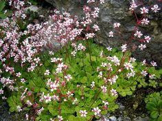 Saxifraga umbrosa - skuggbräcka Zinnias, Petunias, Rose Of Sharon, Verbena, Salvia, Ranunculus, Perennials, Tulips, Woodland