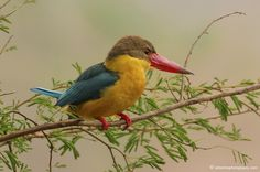 Stork-billed Kingfisher (Pelargopsis capensis) (formerly Halcyon capensis)