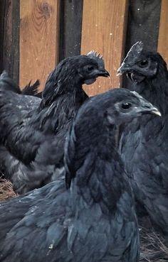 Monsterblack coq
