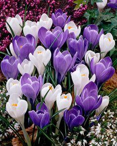 krookus – Google-haku Royal Blue Flowers, Pretty Flowers, Purple Flowers, Most Beautiful Flowers, Beautiful Gardens, Spring Flowering Bulbs, Spring Blooms, Spring Flowers, Summer Plants