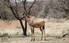 Tsetsebe. Wildlife photo taken at Dronfield Nature Reserve outside Kimberley #tsetsebe #wildlife #nature #photography #gertjgagiano
