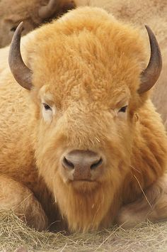 White Buffalo Bison | WesternArt › Portfolio › White Buffalo