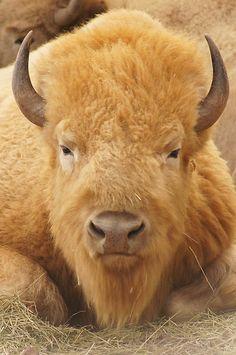 -Noah la photo en haut est un bison.  Ce animal est l'animal qui a arrêté le train à New York dans le roman, un autre chose qui a tuer beaucoup du temps en la fin pour Phileas.