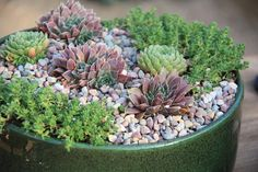 Pictured above: Jovibarba 'Purple Haze'Sedum acreSempervivum soboliferum Hardy Succulents These succulent families all have members that survive well in tempera