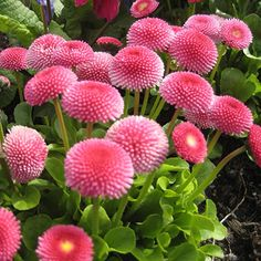 A popular perennial ground cover variety that produces the most spectacular pomponette (double) flowers, specifically suited for potted colour or cheerful bedding colour. Plants, Garden, Beautiful Flowers, Perennial Ground Cover, Perennials, Gardening For Kids, Bellis Perennis, Flowers, Garden Plants