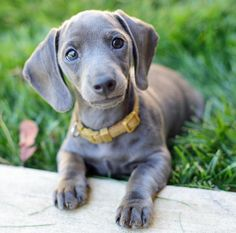 My new dream dog. Gray Dachshund.