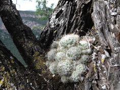 mammillaria crinita leucantha