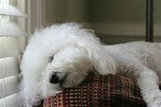 Bichon Frise plum tuckered out :) Perros French Poodle, Cute Puppies, Dogs And Puppies, Doggies, Bichon Dog, Teacup Chihuahua, Animals Beautiful, Cute Animals, Shih Tzu