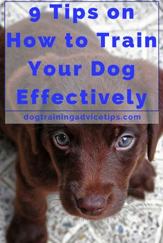 9 Tips on How to Train Your Dog Effectively | Dog Training Tips | Dog Obedience Training | Dog Training Commands | http://www.dogtrainingadvicetips.com/9-tips-train-dog-effectively