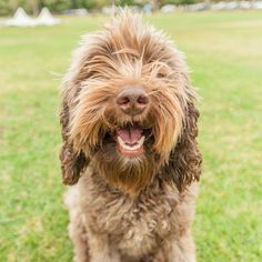 """""""Harvey is a 4.5-year-old Labradoodle. He's the most friendly of all dog. When I'm sad he's the first one to check and see if I'm ok. He's like a mini human. His hair is a bit long but he's due to have his hair cut in the next two days."""" Follow @ThePawsome.co if you just said Awwwwww   For my followers ONLY  Get my FREE ultimate cheat sheet to take PAWSOME dog photo at the link in my bio @ThePawsome.co"""