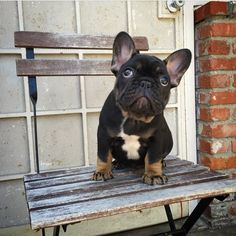 "Bandit, the French Bulldog Puppy - ""They sky is the limit."" ☁️ #BlueFurBullies #FrenchBulldog #Bulldog"