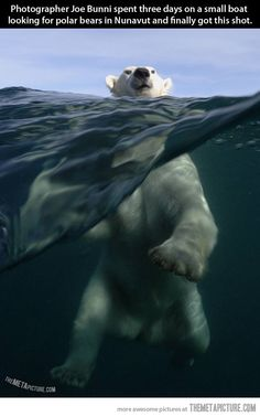 A majestic photograph of a polar bear in the wild…