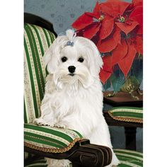 Absolutely Adorable! No longer Available as of 2014 Poinsettia Maltese  Maltese Christmas Cards - The Danbury Mint