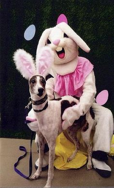 A dog dressed in bunny ears with the Easter Bunny - weird looking bunny! #weird #strange