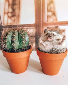 65 Pics Of Adorable Herbee The Hedgehog To Brighten Up Your Day Cute Wild Animals, Baby Animals Super Cute, Baby Animals Pictures, Cute Little Animals, Cute Animal Pictures, Cute Funny Animals, Animals Beautiful, Baby Farm Animals, Hedgehog Pet
