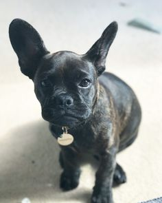 Murphy, the Frenchton, a French Bulldog and Boston Terrier mix❤