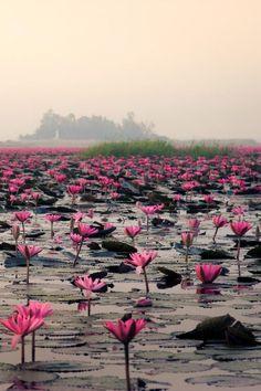 Sea of Red Lotus | Giant Rabbit