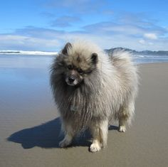 another beach day!   ( my Keeshond )