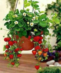 Meu Pomar: Como cultivar morangos em vasos! by loretta