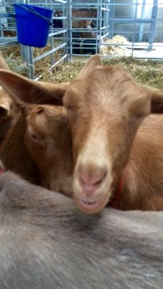 Sleepy after a long day at Yorkshire, Goats, Pictures, Animals, Photos, Animales, Animaux, Photo Illustration, Animal Memes