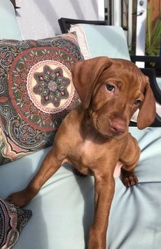I need a vizsla! Kittens And Puppies, Cute Dogs And Puppies, I Love Dogs, Beautiful Dogs, Animals Beautiful, Vizsla Puppies, Vizsla Dog, Tier Fotos, Cute Little Animals