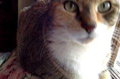Honey Bunny, the cat, cute
