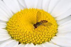 hornet on daisy