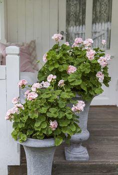 Pelargonia er en av våre mest populære sommerblomster som virkelig pynter opp på balkong og terrasse.