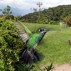 No no es un montaje te lo prometemos.  Una de las ventajas de tener un bebedero para colibríes es que puedes hacer fotos como esta.  No es fácil capturar una imágen de un colibrí en vuelo su rápido aleteo hace que debas hacer uso de tus habilidades de fotógrafo y alguno que otro truco que te pueda dar @HGkripsy para capturar imágenes como esta. Te animas?