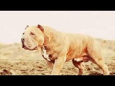 tan molosso presa mayo Bully Breed, Bully Dog, Presa Mayo, Mans Best Friend, Best Friends, Dog Kennels, Gentle Giant, Canes, Big Dogs