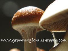 basics how to grow magic mushrooms