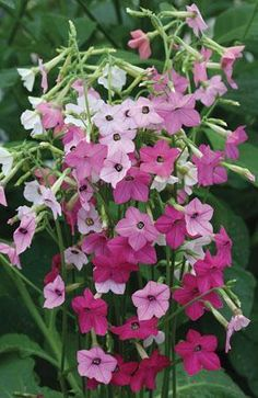 Nicotiana alata 'Whisper Mix'