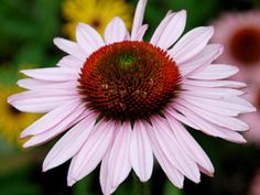 Every purchase of Hope Coneflower aids in the fight against breast cancer