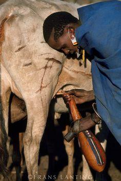 Masai woman milking cow, Masai Mara, Kenya.  Women have very short hair like this. Men keep theirs longer. I don't know why.