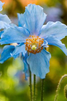 A close up look at a single blue poppy blooming in early June in Butchart Gardens in Victoria, BC. Amazing Flowers, My Flower, Flower Power, Wild Flowers, Beautiful Flowers, Blue Poppy, Trees To Plant, Garden Plants, Mother Nature