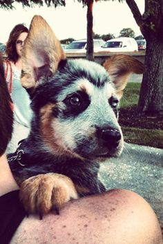 Link the blue Heeler ❤ look at hims face Austrailian Cattle Dog, Baby Animals, Cute Animals, Blue Heelers, Cattle Dogs, Large Dog Breeds, Cute Creatures, Beautiful Dogs, Dog Life