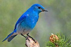 Our State (of Nevada) Bird, the Mountain bluebird, photo by Elaine R. Wilson, Naturepicsonline / Wikipedia.org