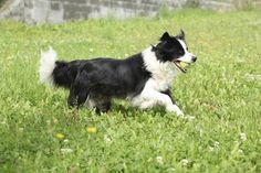 Hard-working herding dogs, border collies have easy-care coats, either **smooth** or **rough**.