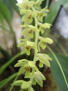 Dendrochilum uncatum