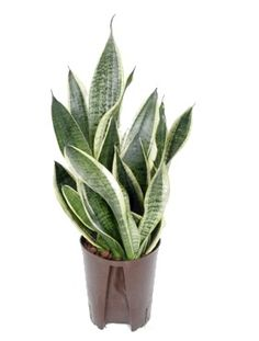 Sansevieria: FUTURA SUPERBA.    yes. that is the name of this plant.