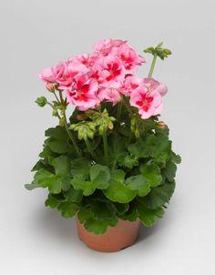 Calliope Rose Splash Topf-Ø ca. My Flower, Flower Pots, Ornamental Cabbage, Window Box Flowers, Cactus Y Suculentas, Flower Images, Container Gardening, House Plants, Small Gardens
