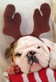 ❤ A tired little reindeer ❤ #englishbulldog #breed #english #bulldog #best #dogs #cute #bulldogs #dog #pets #animals #canine #pooch #bullies #deer #costume waiting for #christmas