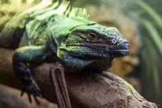 https://flic.kr/p/w5qHt8 | Black spiny-tailed iguana (Ctenosaura similis) | Zoo Miami