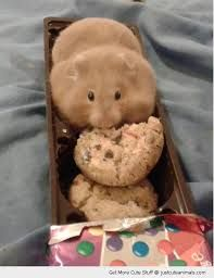 This hamster isn't fat O.o It's just stored food in it's cheekpouches! And animals like hamsters certainly aren't the type of animal to forget to exercise ; Cute Funny Animals, Cute Baby Animals, Funny Cute, Animals And Pets, Funny Looking Animals, Fat Funny, Teddy Hamster, Hamster Treats, Animal Pictures