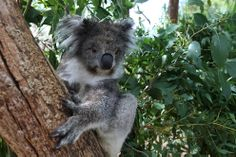 Did you know that the brain of a Koala of average size weighs only 17 grams?!