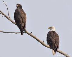 #chickpicotheday! Fishing with Dad (or Mom, I can't tell). #AmericanBaldEagle on the #GrandRiver