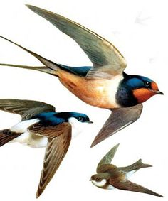Swallow and Martins More